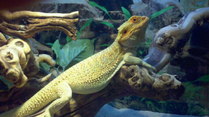 bearded dragon substrate for enclosures and terrariums