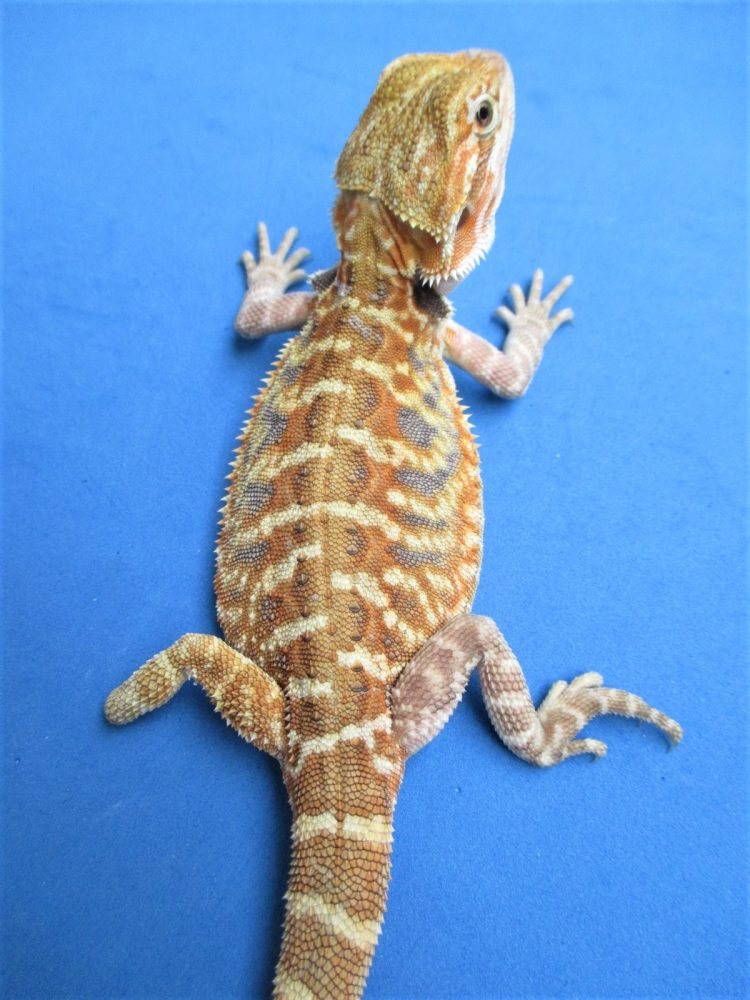 Citrus Leatherback Bearded Dragons For Sale | Atomic Lizard Ranch