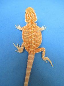 Tangerine & Orange Bearded Dragons For Sale | Atomic Lizard