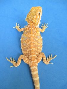 Citrus Leatherback Bearded Dragons For Sale   Atomic Lizard