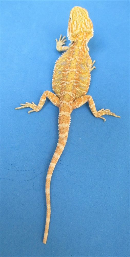 Hypo Melanistic Bearded Dragons For Sale | Atomic Lizard Ranch