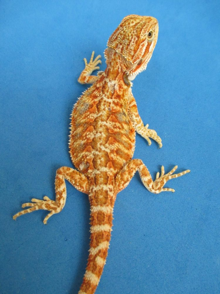 Gala Red Bearded Dragons For Sale Online | Atomic Lizard Ranch